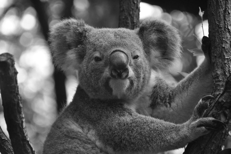 MEGANE ROCK:KOALA